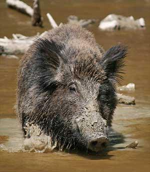 feral-hog-mud