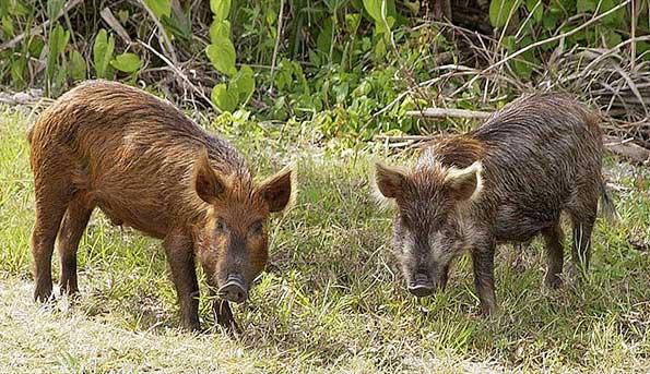 feral-hogs-florida-wild-boar-razorback